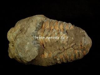 trilobit + calymene flexi